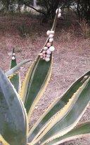 Lumachine in Aloe