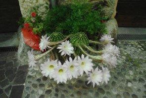 Pianta grassa fiorita