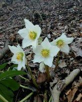 Elleboro in fiore