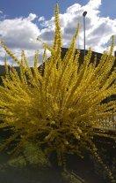 Forsythia in fiore
