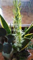 Sansevieria in fiore