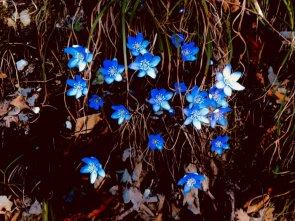 Celeste primavera