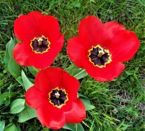 Il canto dei tulipani