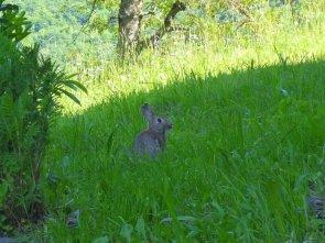 Leprotto o coniglio?