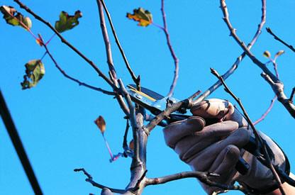 Treviso bs la vite e gli alberi da frutto for Potatura alberi da frutto