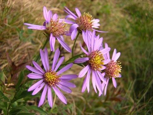 Pertica bassa alla scoperta dei fiori di montagna for Fiori immagini e nomi
