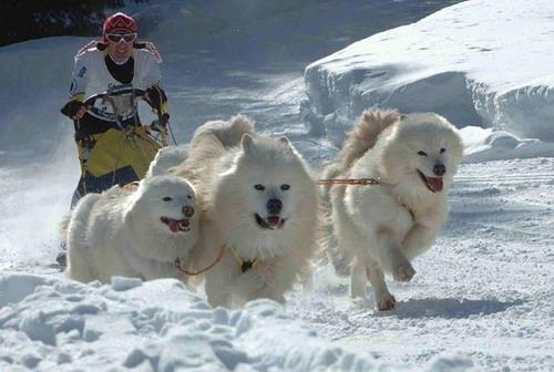 Bagolino gaver in gara i cani da slitta - Foto di animali dell oceano ...